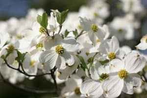 White dogwood flowers with green leaves during springtime, 10 Trees With White Flowers In Springtime