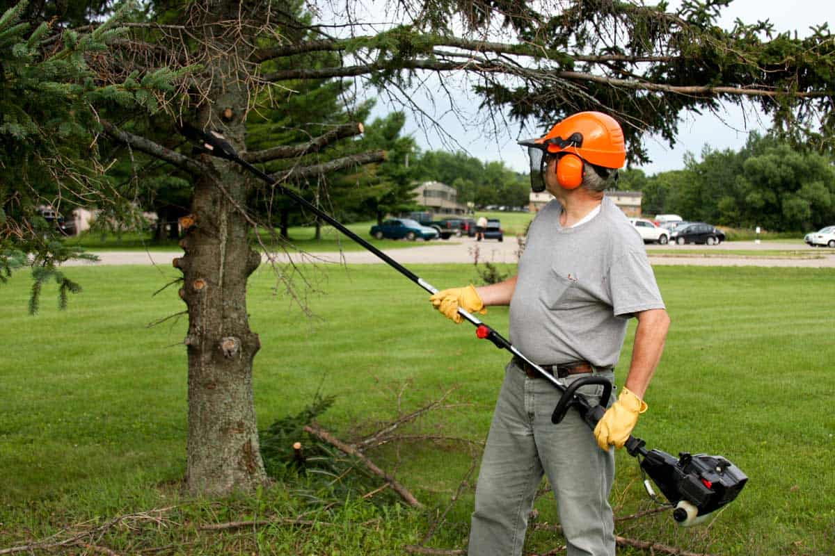 Yard worker trimming pine trees with an extended chainsaw