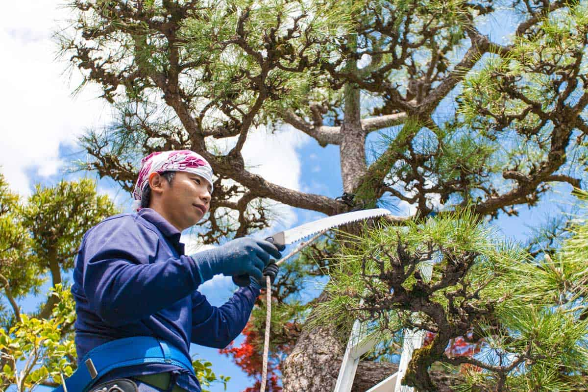 Young Japanese Gardener pruning pine tree