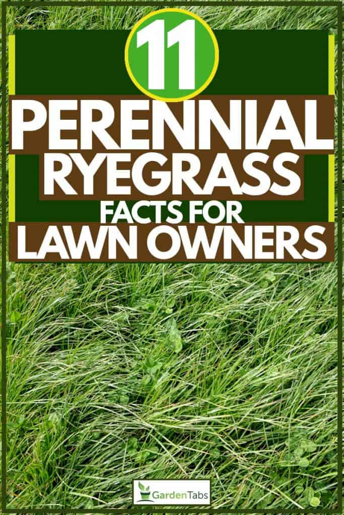 Close up shot of Perennial Ryegrass, 11 Perennial Ryegrass Facts For Lawn Owners