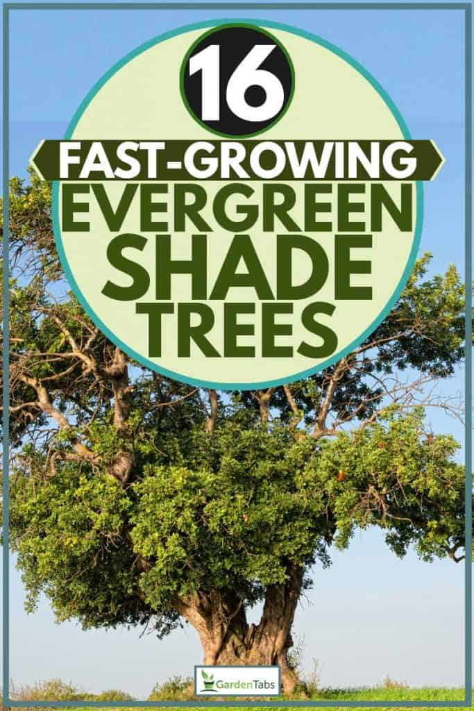 Huge Carob tree at grassy field next to river, 16 Fast-Growing Evergreen Shade Trees, 16 Fast-Growing Evergreen Shade Trees