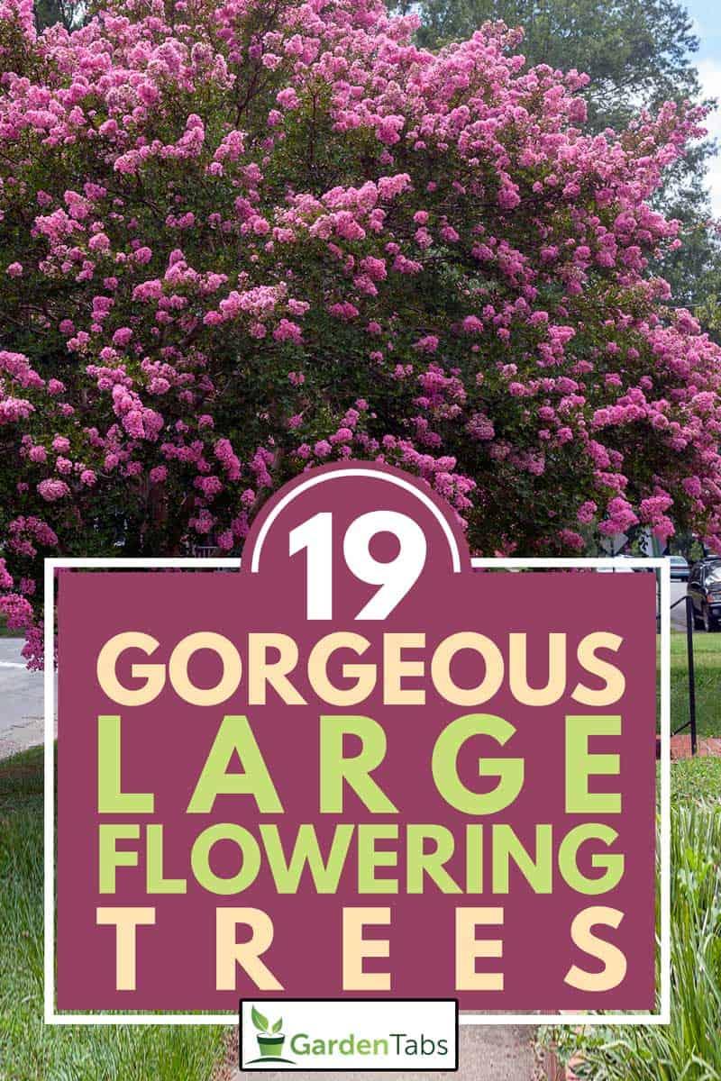 Raspberry colored crepe myrtle tree in Virginia residential neighborhood, 19 Gorgeous Large Flowering Trees