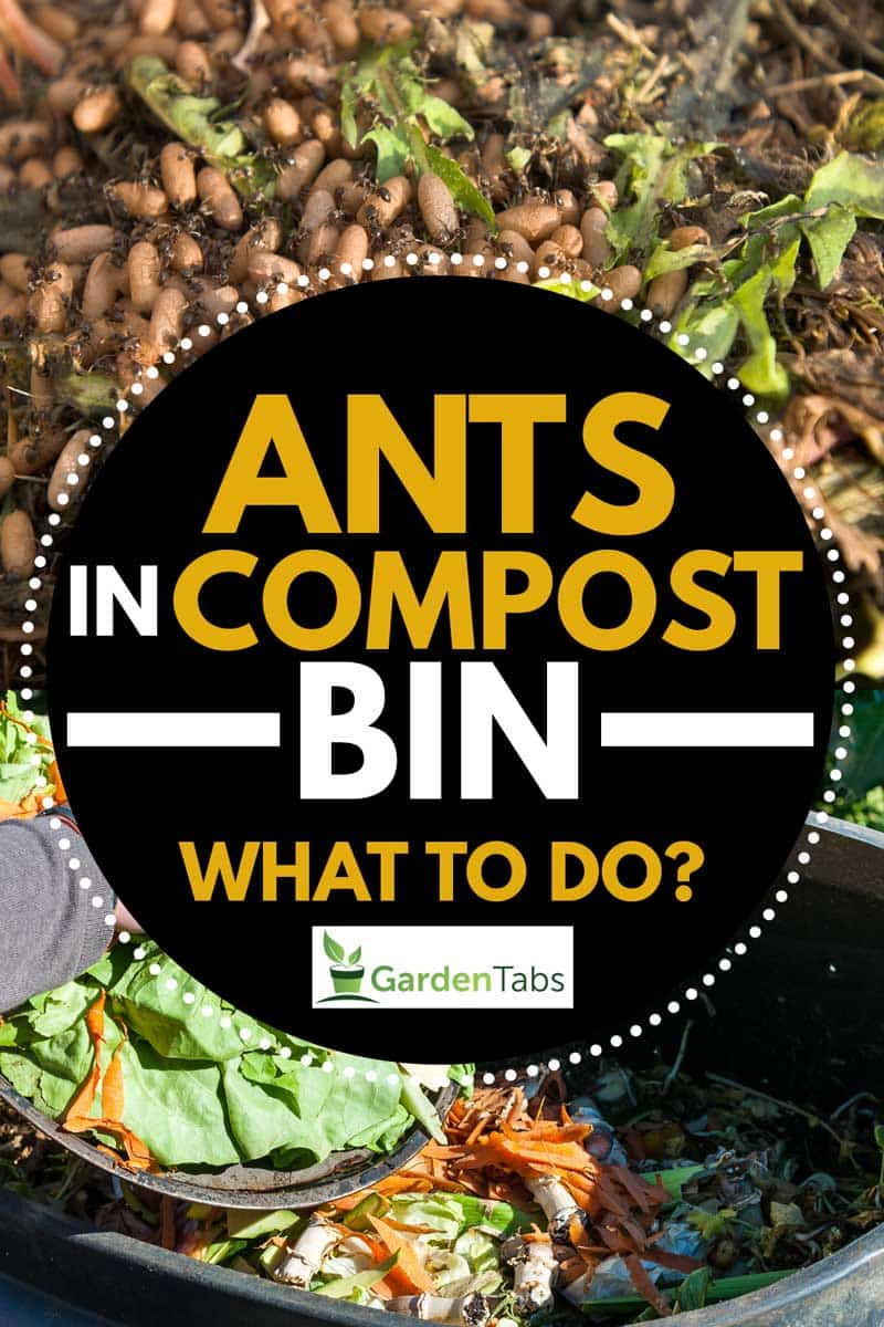 Ants nest and eggs in a garden compost heap, Ants In Compost Bin - What To Do?