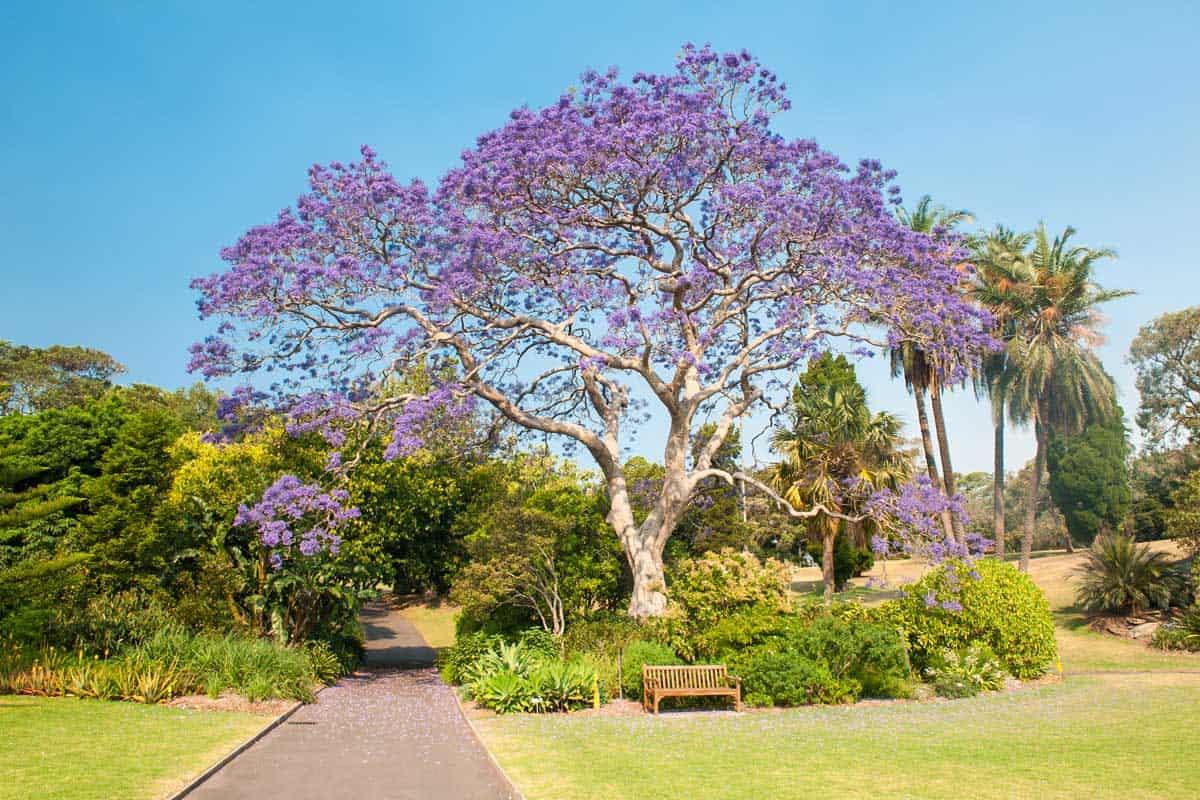 Blooming jacaranda tree in the park,