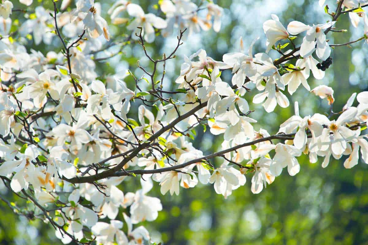Branch of magnolia tree in the spring blossom