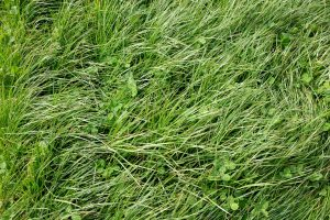 11 Perennial Ryegrass Facts For Lawn Owners