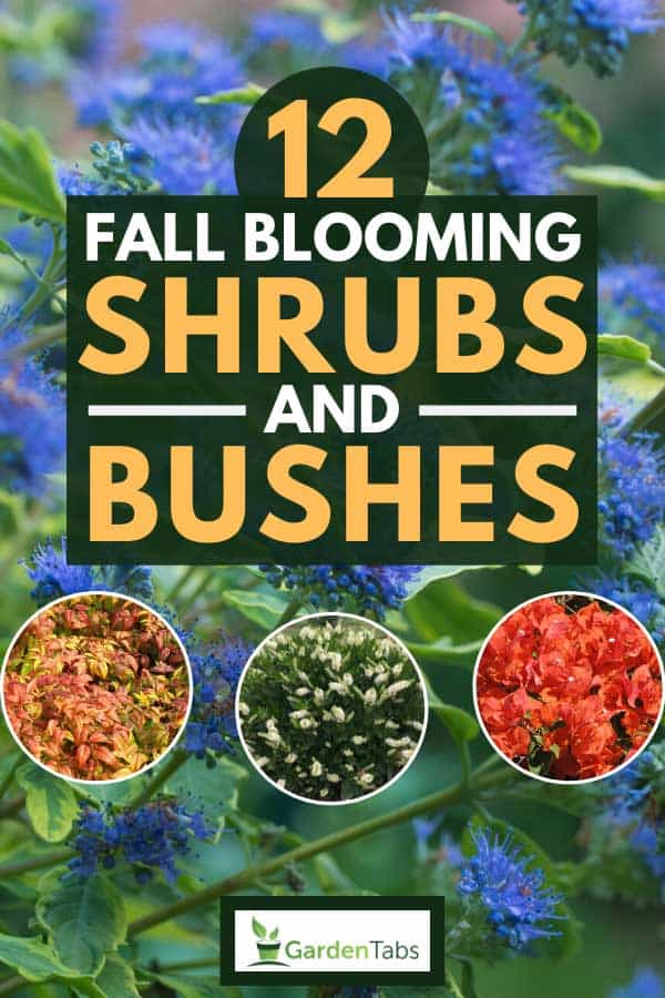 12 Fall Blooming Shrubs And Bushes Garden Tabs