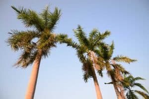 How Fast Do Palm Trees Grow?