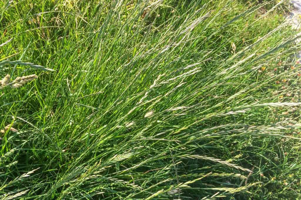 Green flourishing ryegrass close up shot, 11 Perennial Ryegrass Facts For Lawn Owners