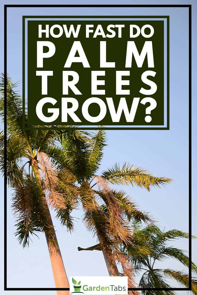 How Fast Do Palm Trees Grow?, Foxtail palm trees in the wind with blue sky background