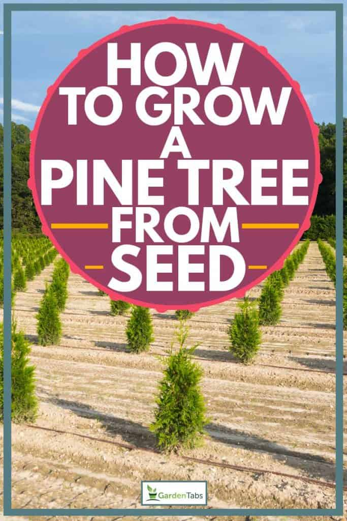 Young pine trees planted on the ground in perfect straight line, How To Grow A Pine Tree from Seed