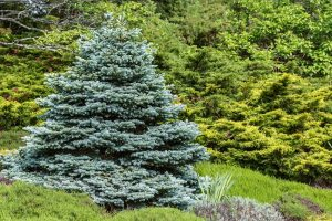 9 Beautiful Weeping Evergreen Trees for Landscaping, Perfectly formed ornamental blue spruce (Picea pungens glauca globosa)in a evergreen garden.