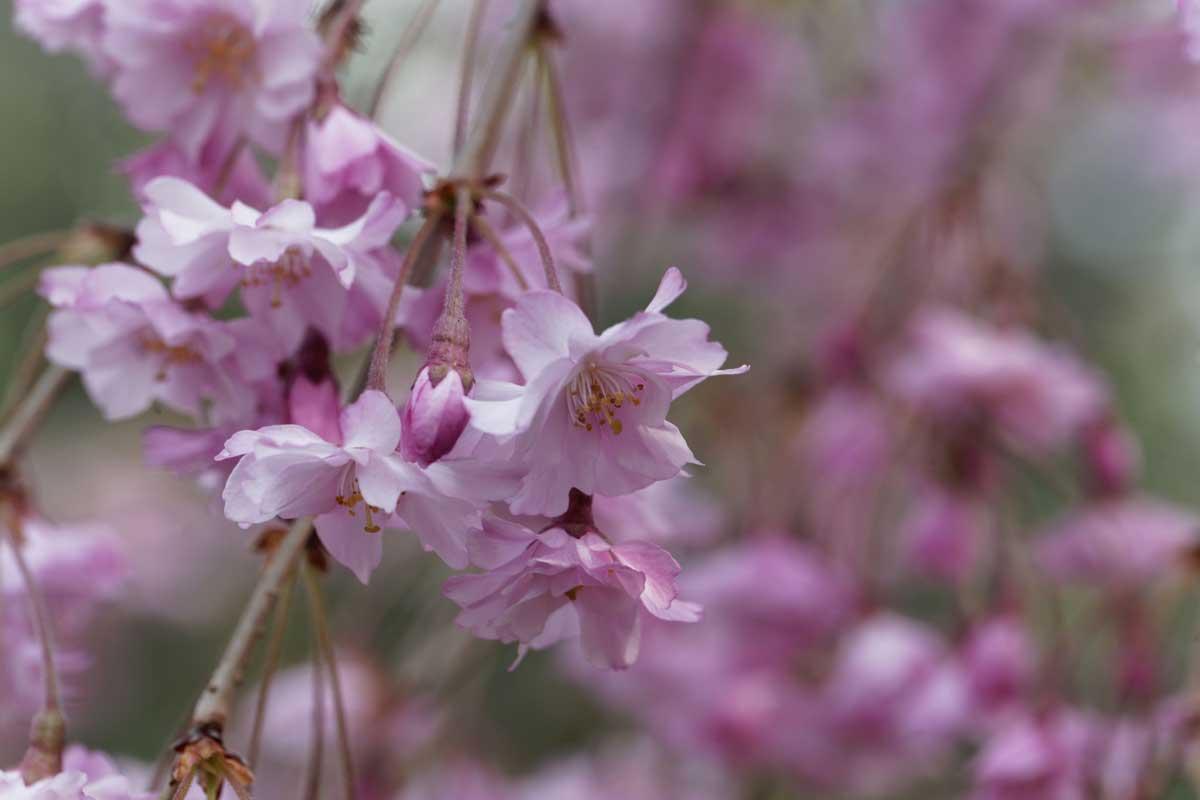 Pink blossom of a winter flowering cherry, Prunus subhirtella.