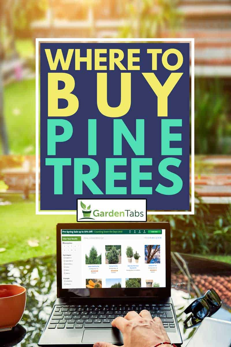 A man browsing a pine trees online while holding a cup of coffee, Where To Buy Pine Trees