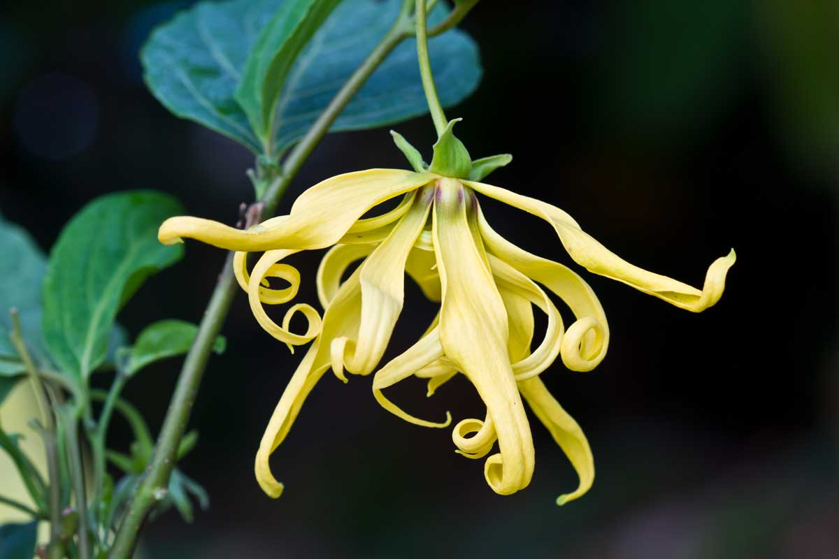 Close up Ylang-Ylang Flowers from the branch