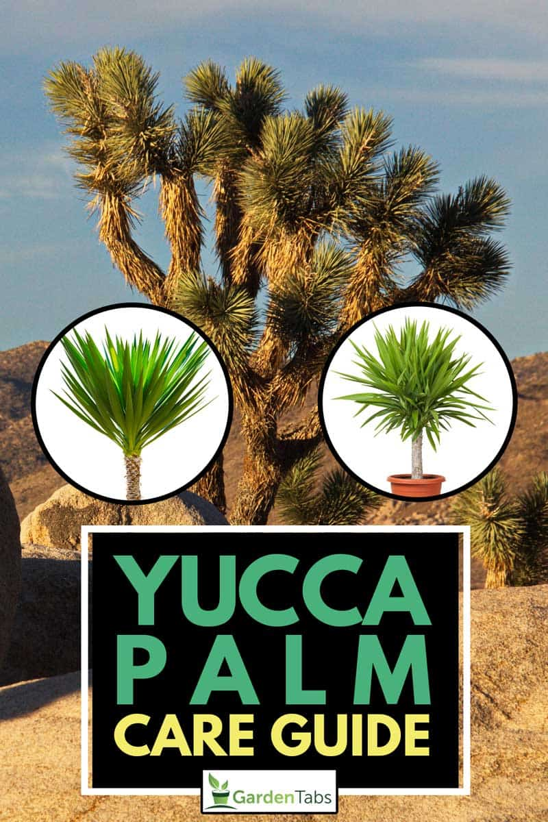 Yucca Palm Care Guide, Joshua tree in Joshua Tree National Park in California in the USA