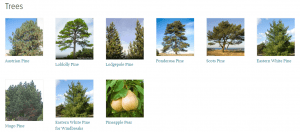 Arboy Day Foundation website product page for pine trees