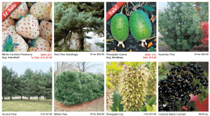 Direct Gardening website product page for pine trees