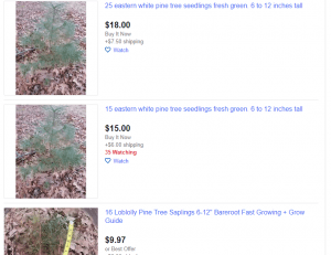 eBay website product page for pine trees