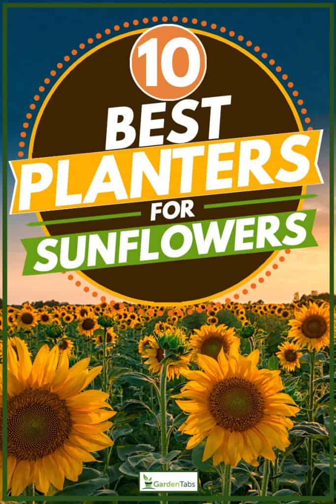 Sunflower plantation photographed on sunset, 10 Best Planters For Sunflowers