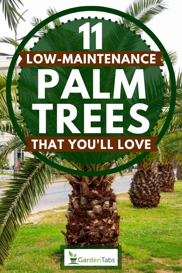 Pygmy date palm trees in city park, 11 Low-Maintenance Palm Trees That You'll Love
