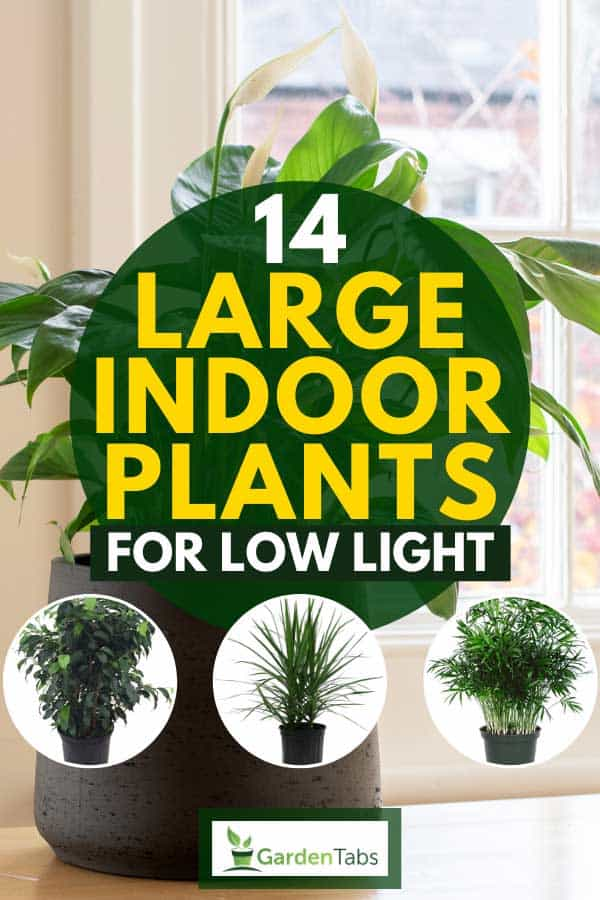 Collage of large indoor plants with peace lily plant on the background, 14 Large Indoor Plants For Low Light