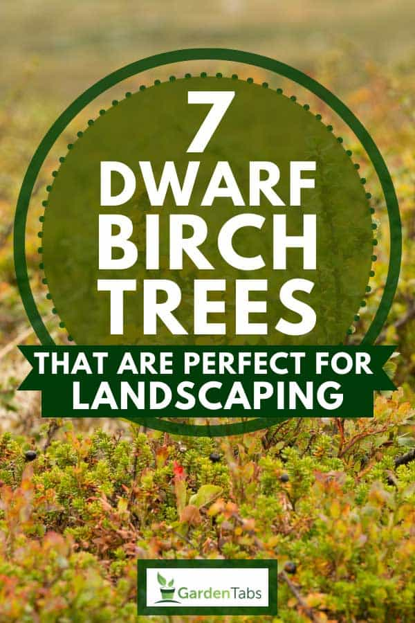 Autumn colored dwarf birch trees in the high Norwegian mountains, 7 Dwarf Birch Trees That Are Perfect For Landscaping
