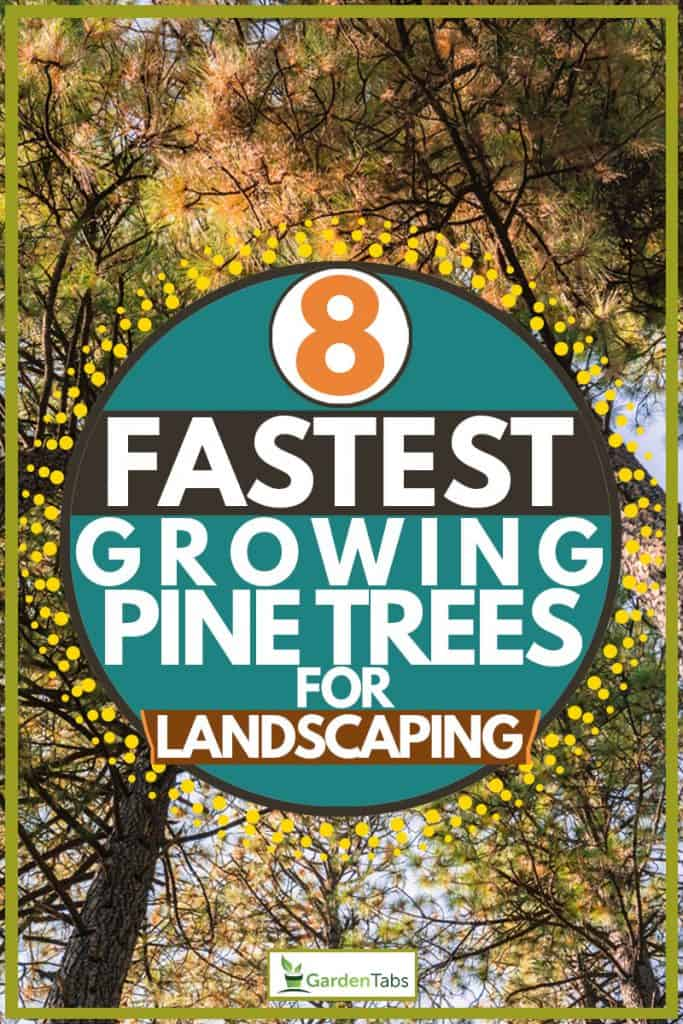 Huge western yellow pine tree photographed below, 8 Fastest Growing Pine Trees For Landscaping