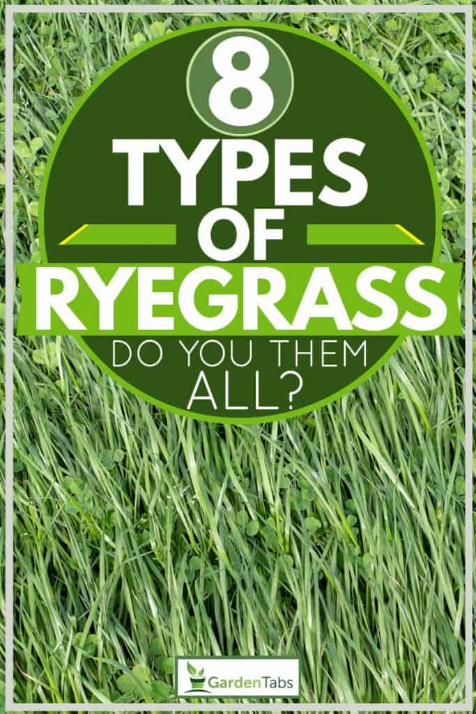 Close up shot of an annual ryegrass, 8 Types Of Ryegrass [Do you know them all?]