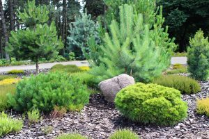 15+ Pine Trees Landscaping Ideas