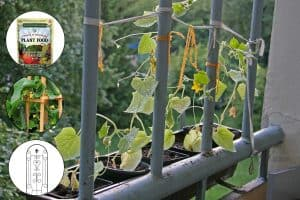 Can Cucumbers Be Grown In Pots?