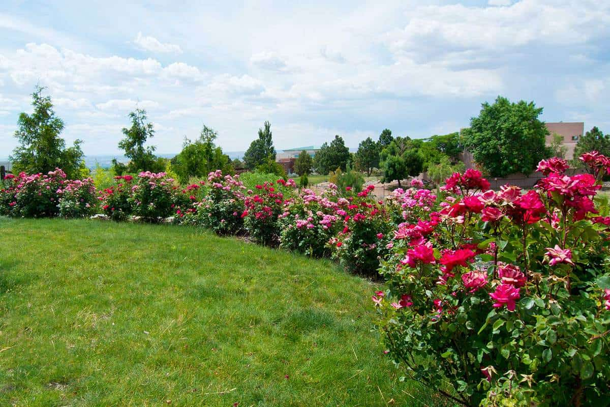 Beautiful lush back yard rose garden
