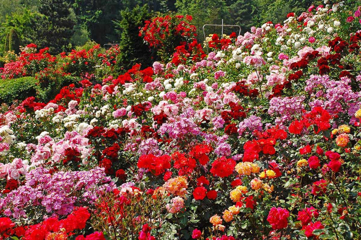 Beautiful multi-colored rose garden in spring