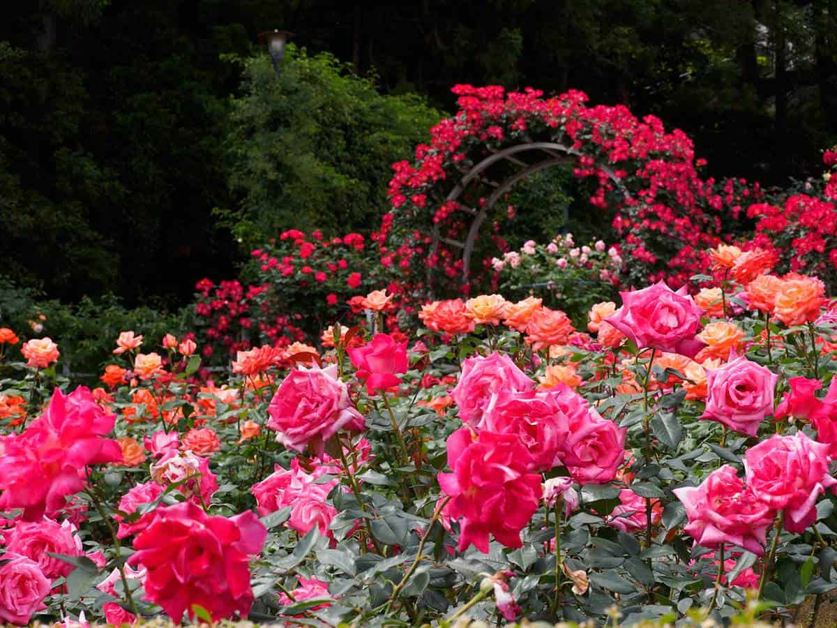 Beautiful rose garden with red and pink roses
