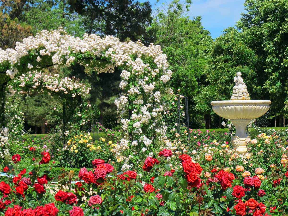 Beautiful rose garden with red, white roses and fountain