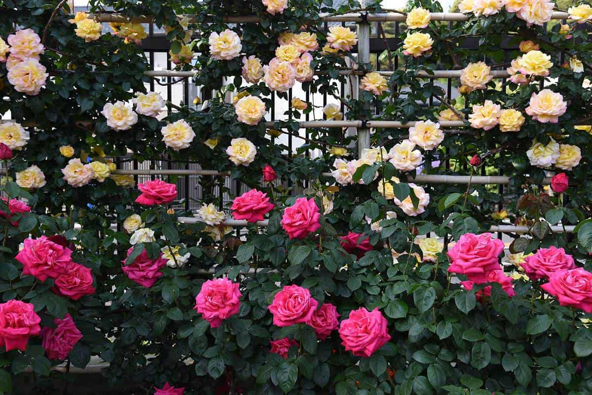 Beautiful roses in the rose garden