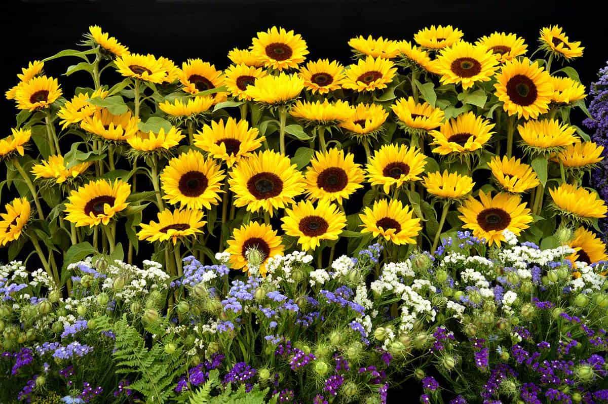 Beautiful sunflower garden