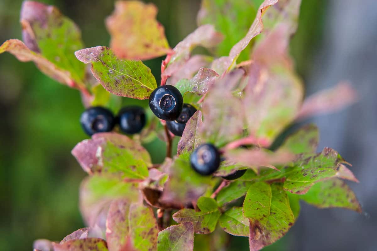 Black huckleberries (Vaccinium membranaceum) growing in late summer at high elevation in the Monashee mountain range