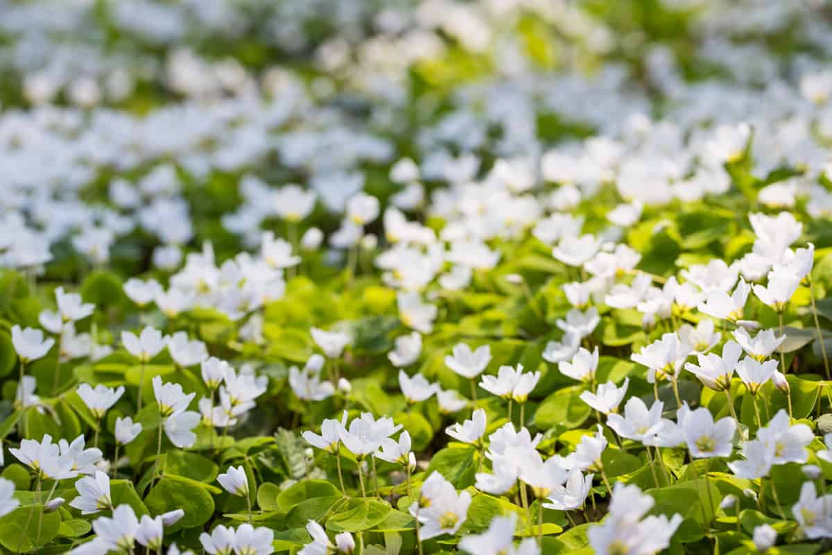 Blooming sorrel (Oxalis) on a glade in the forest