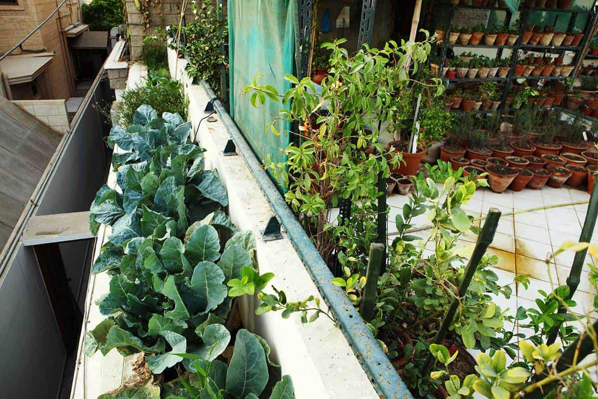 Broccoli, herbs and vegetable growing organically in planting pots in terrace kitchen garden