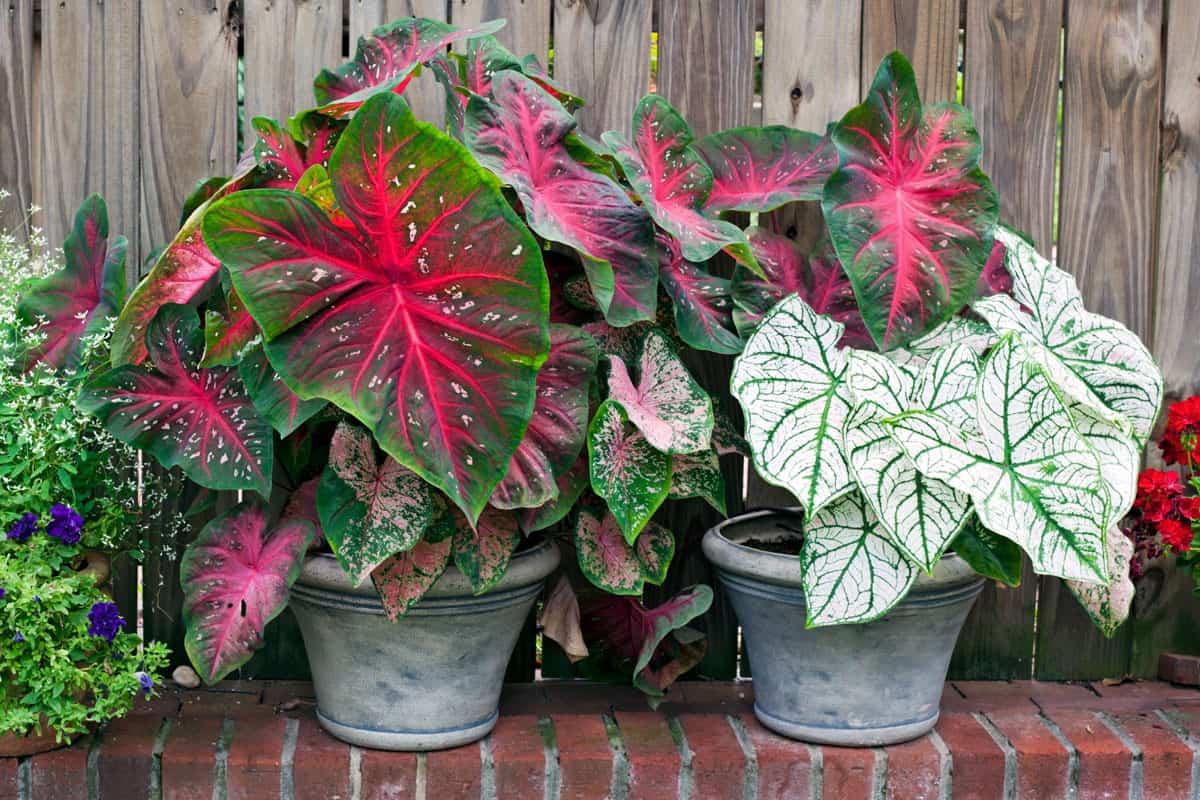 Caladium planters red and white