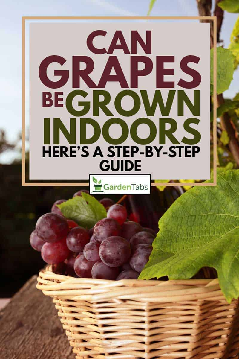 A ripe grapes in a basket grown by indoor gardening, Can Grapes Be Grown Indoors? [Here's a Step-by-Step Guide]