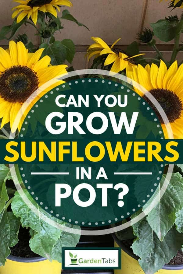 Beautifully growing dwarf sunflowers on yellow pots, Can You Grow Sunflowers In A Pot?