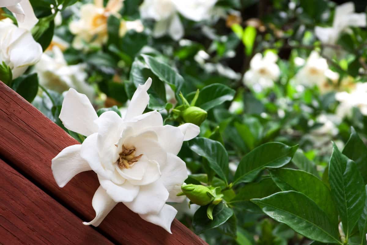 Close up of a gardenia on a fence, with blurred gardenias in the background