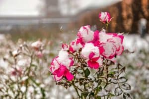 Close-up of purplish red rose flowers, partly covered with snow, during a snowstorm, How To Care For Roses During Winter [5 Actionable Tips]