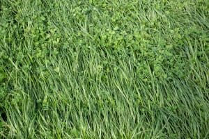 8 Types Of Ryegrass [Do you know them all?]