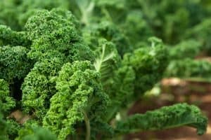 Close view of Kale in an organic garden, How To Grow Kale From Seed Indoors