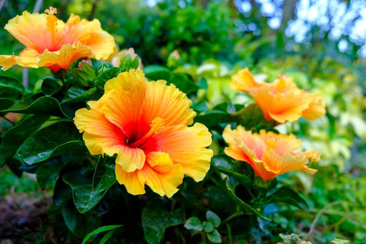 Colorful Hawaiian hibiscus in the garden