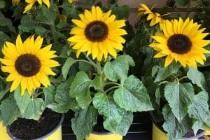 Dwarf sunflowers beautifully growing on yellow pots, Can You Grow Sunflowers In A Pot?