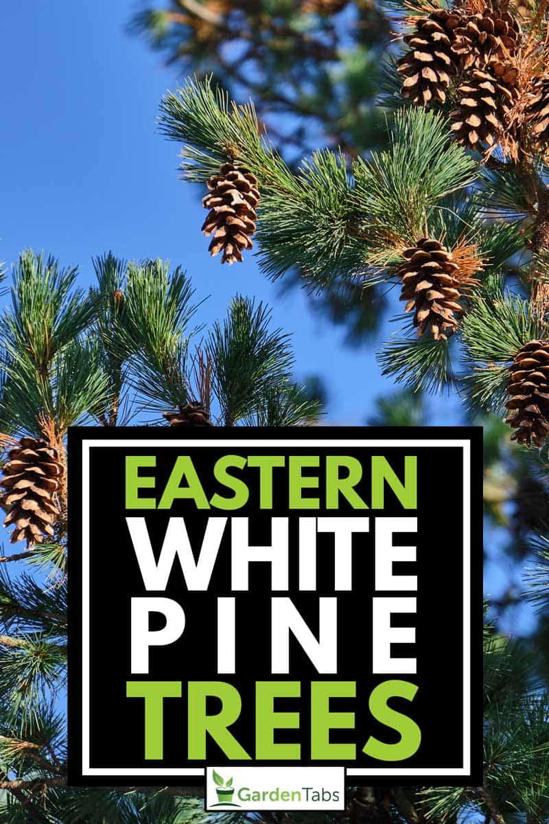 Eastern White Pine Tree, Pinus strobus, commonly denominated the northern white pine on the blue sky background, Eastern White Pine Tree